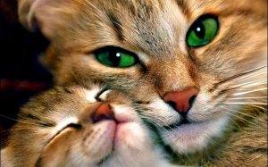 gata-com-seu-gatito